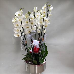 beyaz vip orkide aranjmanı Vip Orkideler 8 Dal