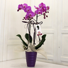 large arrangement Purple Phalaenopsis Orchid