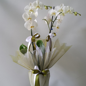 kutuda papatya arajman Çift Dallı Beyaz Orkide