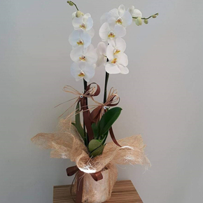 alanya florist White Orchid
