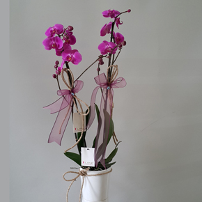 alanya florist Purple Colored Orchid