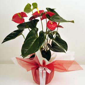kutuda 101 gül Antoryum Çiçeği
