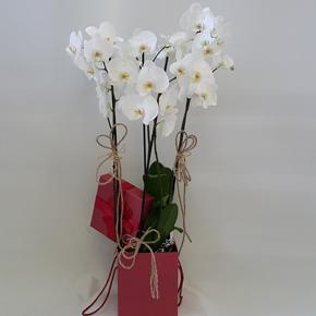 narurel ambalajlı orkide Kutuda Orkideler