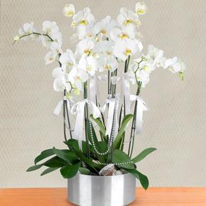 41 gül kutu İçine Vip Orkide 6 Dal Beyaz