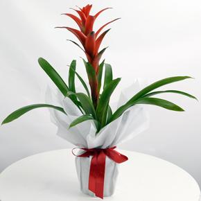 alanya çiçekçilik Guzmanya