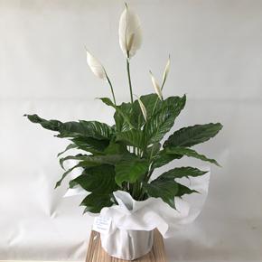 guzmanya Büyük Boy Barış Çiçeği